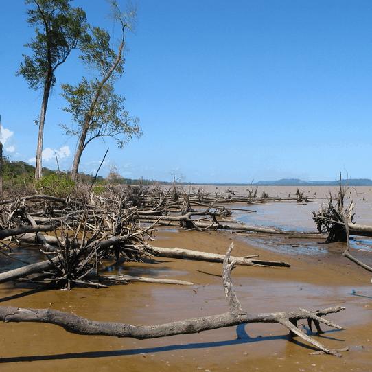 Les mangroves guyanaises