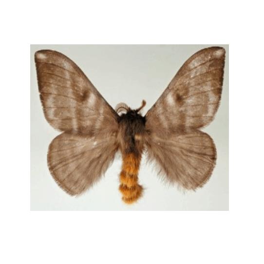 Papillonite et papillons urticants en Guyane française